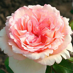 Роза Souvenir de Baden-Baden (саженцы)