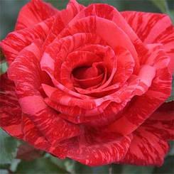 Роза Red Intuition (саженцы)