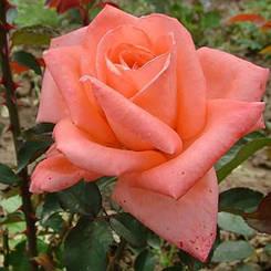 Роза Dolce Vita (саженцы)