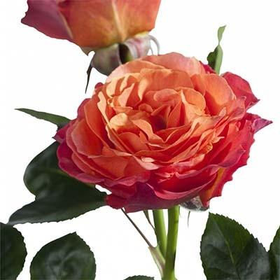 Роза La Palma (саженцы)