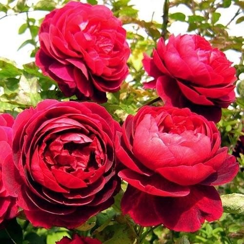 Роза Morsdag Red (саженцы)