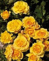 Роза Malbork (саженцы)