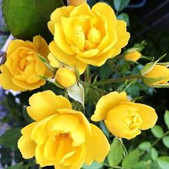 Роза Golden Age (саженцы)