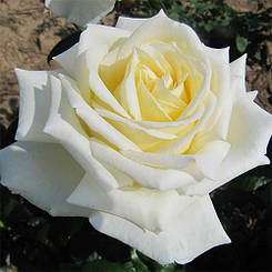 Роза Diamond Days (саженцы)