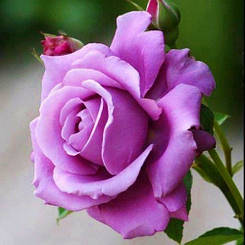 Роза Climbing Blue Moon (саженцы)