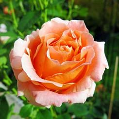 Роза Polka (саженцы)