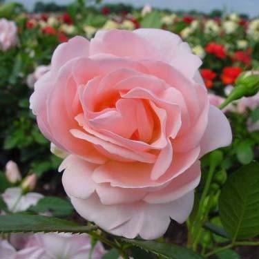 Роза Astrid Lindgren (саженцы)