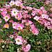 Роза Pink Spray (саженец), фото 2
