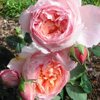 Роза чайно-гибридная Дам де Шенонсо