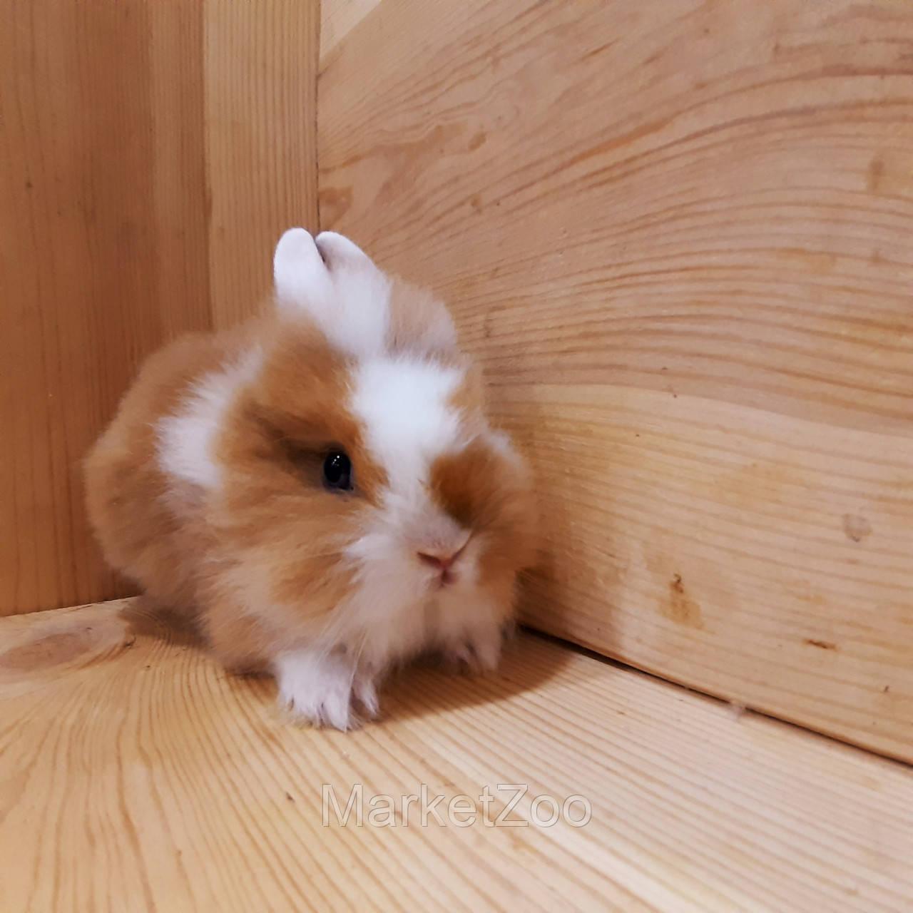 """Миниатюрный торчеухий кролик,порода """"Львиная голова"""",возраст 1,5мес.,девочка"""