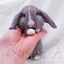 """Карликовый вислоухий кролик,порода """"Вислоухий баранчик"""",окрас """"лиловый"""",возраст 1мес,мальчик, фото 3"""