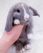 """Карликовый вислоухий кролик,порода """"Вислоухий баранчик"""",окрас """"лиловый"""",возраст 1мес,мальчик, фото 2"""