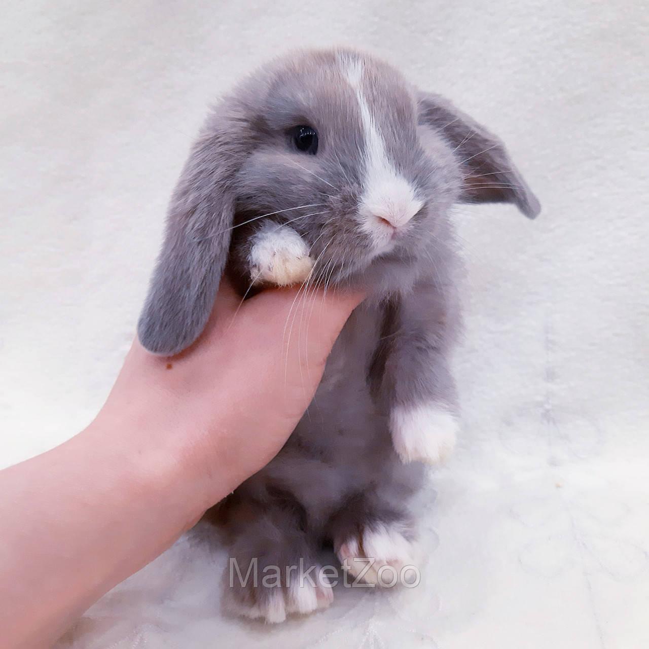 """Карликовый вислоухий кролик,порода """"Вислоухий баранчик"""",окрас """"лиловый"""",возраст 1мес,мальчик"""