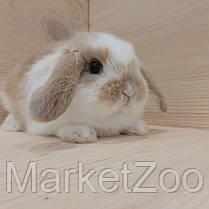"""Карликовый вислоухий кролик,порода """"Вислоухий баранчик"""",возраст 1мес.,девочка, фото 2"""