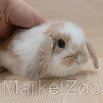 """Карликовый вислоухий кролик,порода """"Вислоухий баранчик"""",возраст 1мес.,девочка, фото 3"""