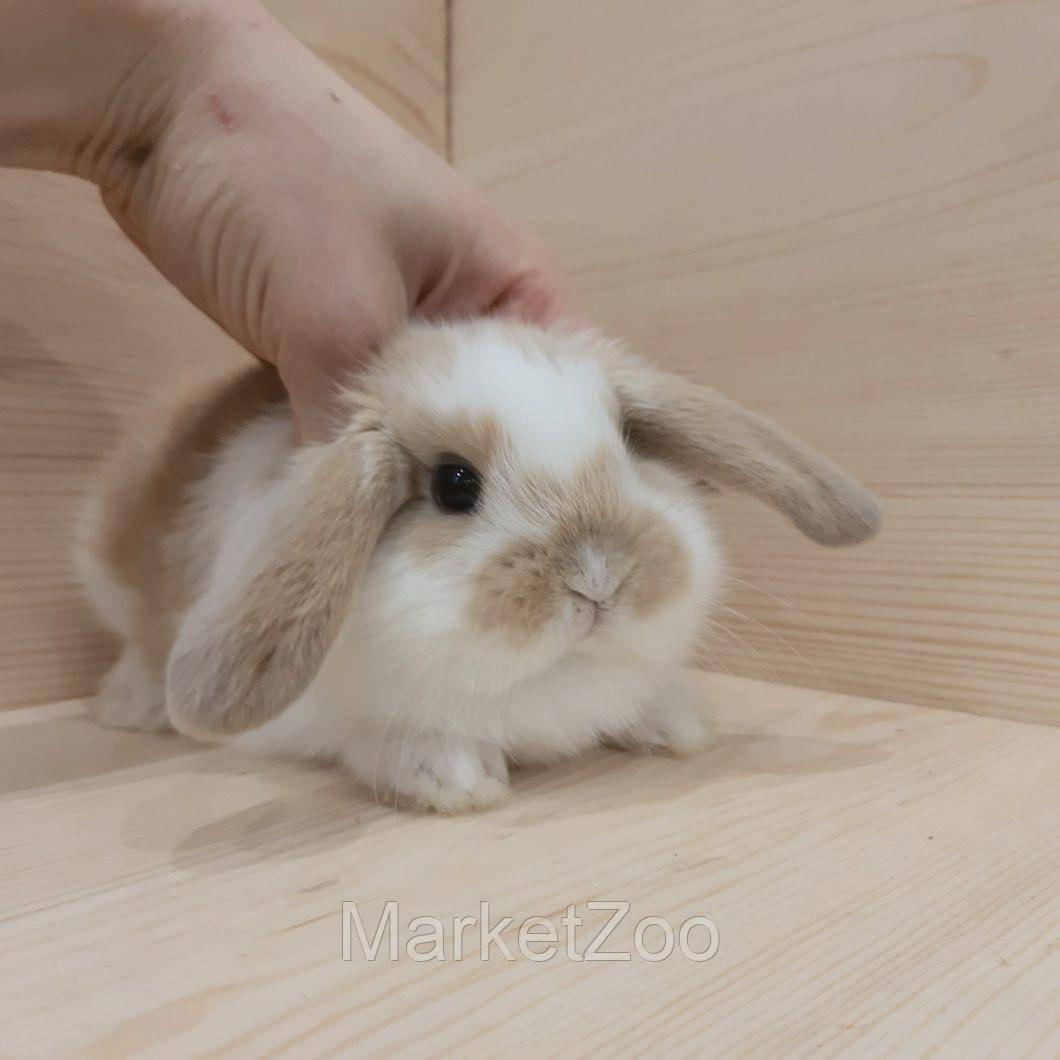 """Карликовый вислоухий кролик,порода """"Вислоухий баранчик"""",возраст 1мес.,девочка"""