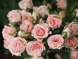 Роза бордюрная Diadema, саженец
