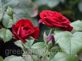 Роза бордюрная Kordula, саженец