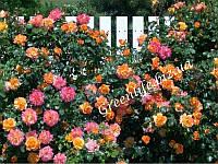Роза плетистая Sahara