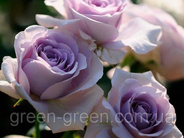 Роза Бордюрна Blue Moon