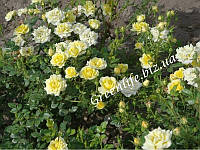 Роза почвопокровная Holiday