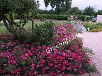 Роза почвопокровная Клирпс