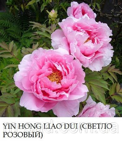 Пион древовидный Yin Hong Liao Dui, фото 2