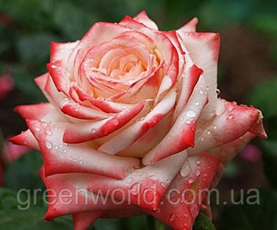 Саженцы роз Императрица