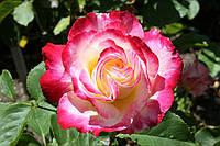 Саженцы роз Дабл Делайт