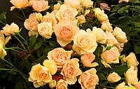 Роза Susan Daniel (саженцы)