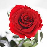 Долгосвежая роза Алый Рубин в подарочной упаковке (не вянут от 6 месяцев до 5 лет) на коротком стебле, фото 4