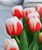 Тюльпан Бахромчатий Fancy Frills (3шт)