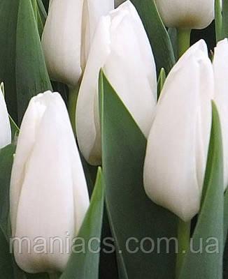 Тюльпан Триумф Snow Lady (Сноу Леди)