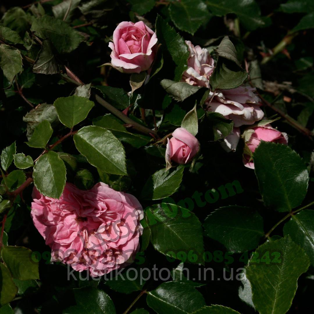 Роза четырех сезонов