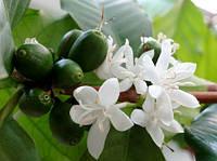 Кофейное дерево – чудодейственное растение в домашних условиях