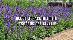 ИССОП ЛЕКАРСТВЕННЫЙ (Супер Медонос Украины)