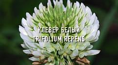 Растение медонос, сидерат, кормовая культура, газонное растение - Клевер Белый