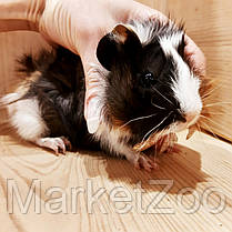 Морская свинка,девочка,возраст 1,5мес., фото 3