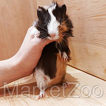 Морская свинка,девочка,возраст 1,5мес., фото 2