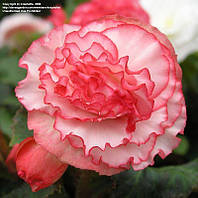 Бегония Nonstoр Rose Petticoat