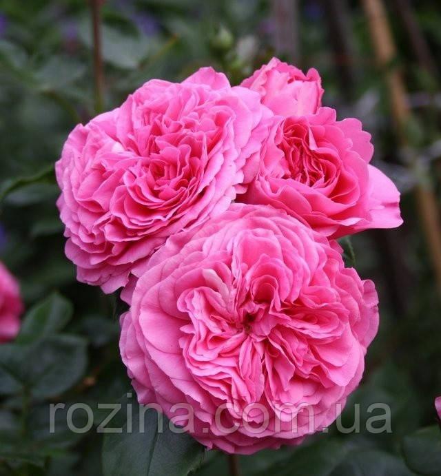 """Саженцы розы """"Баронесса"""""""