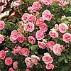 Роза бордюрная 'Фейри' | Троянда бордюрна 'Фейрі' (ЗКС; 2 л)