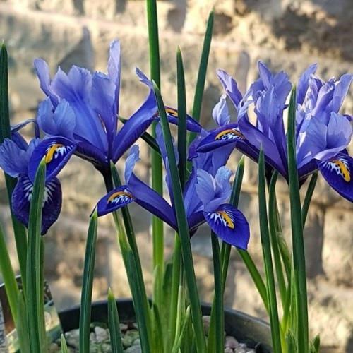 Ирис ботанический Joyce, 5 луковиц