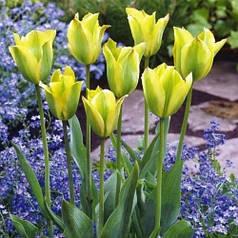 Луковицы тюльпанов Formosa, 3 луковицы