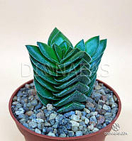 Суккулент Crassula Buddha's Temple (Крассула Храм Будды) - комнатное, красивое, редкое, эффектное растение