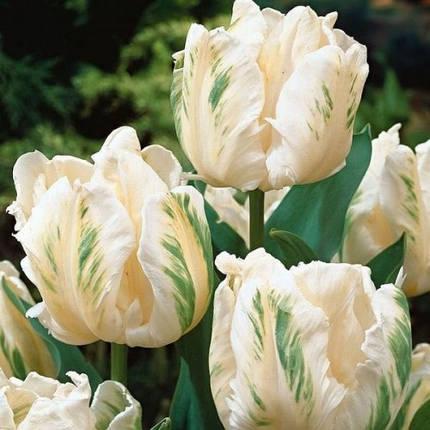 Луковицы тюльпанов White Parrot, 3 луковицы, фото 2