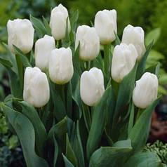 Луковицы тюльпанов Royal Virgin, 3 луковицы