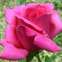 Саженцы роз Ланкоме