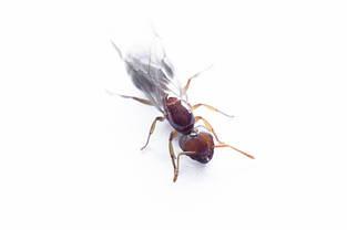 Профессиональное средство от муравьев Optigard Ant Gel bait USA, фото 2