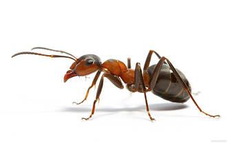 Профессиональное средство от муравьев Optigard Ant Gel bait USA, фото 3